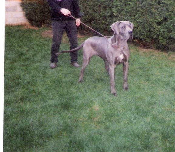 Chadé de Lathuy great dane